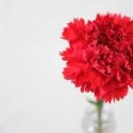母の日に贈るカーネーションの由来は?色は?他の花は?