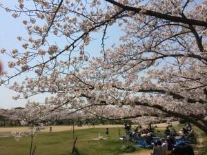 明石公園お花見情報2016桜の見頃|駐車場マップ|魚の棚に明石焼き